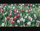 チューリップの花々と美しい旋律