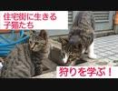 【やや閲覧注意】住宅街裏の子猫たち、獲物を前に狩りを学習する