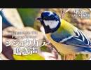 シジュウカラの鳴き声02 birdsong of Japanese Tit  Parus minor