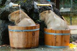 カピバラ温泉の季節です