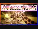 【ゆっくり解説】キリンの交尾の90%はオス同士【今日の豆知識】