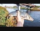 【釣り・VLOG】柳瀬川でブラックバス釣り、釣れたのはニゴイ!@おまけは東福山~品川まで新幹線で乗り鉄【Pixel 4a (5G)】