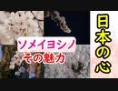 【お花見】日本の心といっても過言ではない…ソメイヨシノに迫ってみる!
