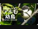 シジュウカラの鳴き声08幼鳥子育てに来ている時