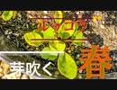 富三菜園、ルッコラ芽吹く春。