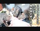 少し凍ったクロマグロをペロペロ、ガジガジしながら解凍する野良猫の子猫【その3】