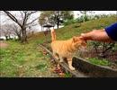 顔見るとモフられに来る公園の茶トラ猫が可愛過ぎる