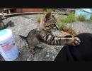 懐かない野良子猫が本能に逆らえず、猫じゃらしの虜になっていく様子