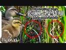 0430B【カルガモ抱卵と巣作り】親子の子育てモズ雛鳥。猛禽類ツミ。雀 目白 鶺鴒の捕食。カルガモ親子から一年…今年はどうだ?  鶴見川水系恩田川の野鳥 #身近な生き物語 #カルガモ #モズ