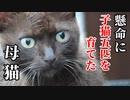 母猫の角刈りさんとの出会い、その子猫クロたちとの出会い『野良猫という環境下、子猫五匹を育てた母』