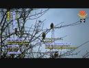 小笠原諸島の住民が絶滅しつつある鳥を救う活動に立ち上がる