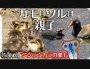 0507Rカルガモ親子とバン親子、シジュウカラの巣 #身近な生き物語 #カルガモ親子 #バン