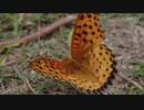 ツマグロヒョウモン オス Argyreus hyperbius