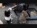 臆病な野良猫の子猫が鳴いて鶏肉をせがむようになった【貰われていく子猫に最後の鶏肉を贈呈 その3】