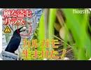 0511B【カラスが卵を…カルガモ親子の雛鳥生まれた!2021】ツバメの雛、シジュウカラの子育て、スズメの巣。 鶴見川、その他でコンデジ野鳥撮影  #身近な生き物語 #カルガモ親子 #カラス