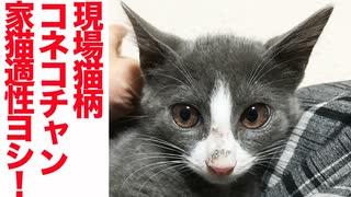 現場猫柄子猫、家猫適性「ヨシ!」