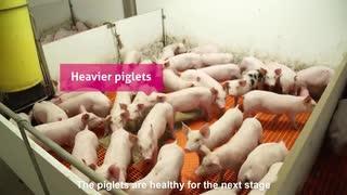 ホモと見る豚の出荷