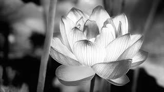 TUFA - Lotus (feat. Miku Hatsune)