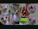 家猫の毛玉対策に、初めての猫草チャレンジ!