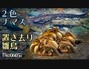 0605B【置き去りカルガモ親子の雛鳥】ナマズとスッポン。ガビチョウに食べられる桑の実。鶴見川水系恩田川でコンデジ野鳥撮影 #身近な生き物語 #カルガモ親子 #ナマズ