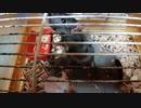 ケージ内で暴れ回るドブネズミの凸凹夫婦