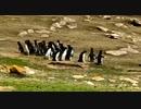 2つのペンギンの群れ
