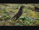 ツグミ Turdus eunomus