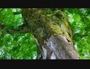 巨樹の風景 吉香公園内の「 サイカチの大木 」 (山口県岩国市横山 〜吉香公園内)