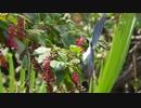 有毒植物を食べる鳥