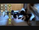 授乳中の母猫が急に退席した後の赤ちゃんの様子「あたちたちを残して行くなんて信じられないわあ」【生後八日目-5 五匹の子猫】母を探す / 耳が開いた模様 / 茶トラだけ孤立
