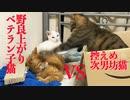 ベテラン子猫、芸術的な甘えインターセプトを見せる