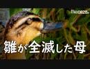 0828B【カルガモ親子 雛鳥が全滅した母】カラスの飛翔。イソヒヨドリが実を吐く。スズメの水浴び。キジバトの巣、親鳥が巣を放置? 鶴見川水系野鳥撮影 #身近な生き物語 #カルガモ親子 #イソヒヨドリ
