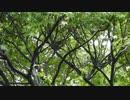 【集まれ】シジュウカラの鳴き声 メジロと雨宿り