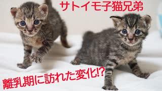 サトイモ子猫、離乳期に驚きの変化を迎える