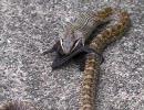 コウモリを丸呑みするヘビ