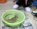 風呂に入るうちのフトアゴヒゲトカゲ