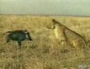 イノシシ vs ライオン