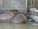 東武動物公園のカピバラさん