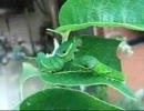 カラスアゲハ幼虫の食事