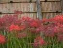 鶴岡八幡宮へ彼岸花を見に行って来ました