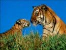 【ライオン・トラ】ネコ科画像つめあわせ【ときどきヒョウ】