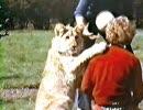 人の手で育てられたライオン full画像&動画