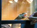 フトアゴフードを食べるうちのフトアゴヒゲトカゲ