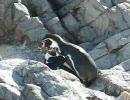ペンギン動画 フンボルトの交尾