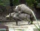 レナと魅音が、サイの交尾を見学しに行ったよ!
