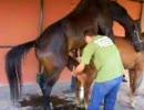 馬精液採取