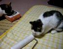 三毛猫丸猫コロコロザリザリ