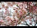 人知れず「桜ノ雨」を歌ってみた。/梅宮雛