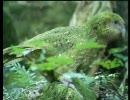 飛べない鳥 フクロウオウム