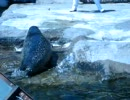 旭山動物園のアザラシ(もぐもぐタイム)